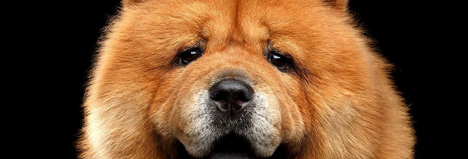 Chow Dog.jpg